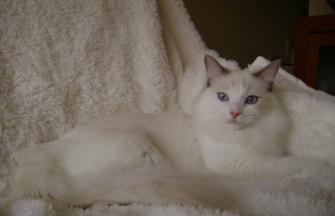 Ambel Du Welden´s Ragdoll