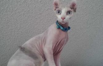 Triple F\'s Sarah Larah Elf Cat